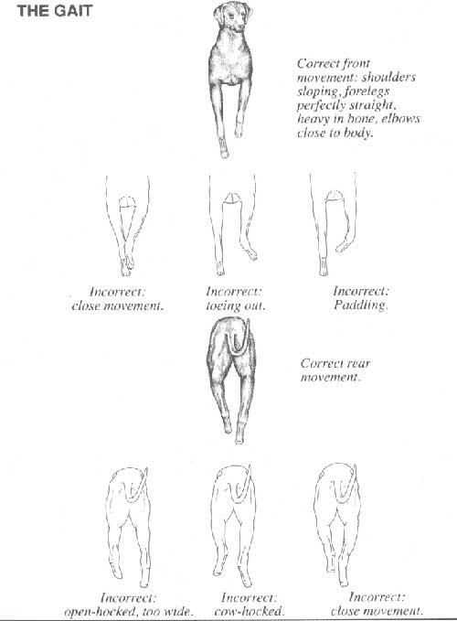 FCI STANDARD - RODEZIJSKI GREBENAR (Rhodesian Ridgeback) 3_wzorzec9